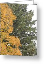 Sugar Maple And Evergreen Greeting Card