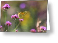 Sulphur Butterfly On Verbena Flower Greeting Card