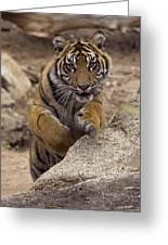 Sumatran Tiger Cub Jumping Onto Rock Greeting Card