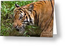 Sumatran Tiger Greeting Card
