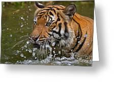 Sumatran Tiger Splashing In The Water Greeting Card