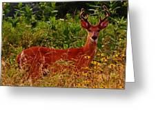 Summer Buck Greeting Card