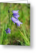 Summer Flowering Harebell Greeting Card