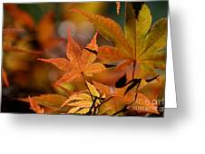 Summer Japanese Maple - 3 Greeting Card
