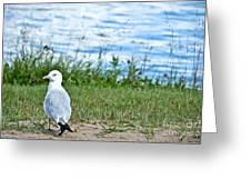 Summer Sea Gull Greeting Card