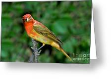 Summer Tanager Changing Color Greeting Card