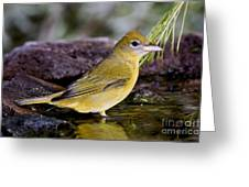 Summer Tanager Female In Water Greeting Card