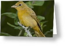 Summer Tanager Hen Greeting Card