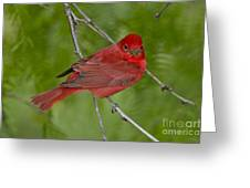 Summer Tanager Male Greeting Card