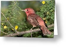 Summer Tanager Piranga Rubra Greeting Card