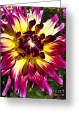 Sun Burst Purple Dahlia Greeting Card