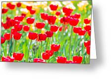 Sun Drenched Tulips - Featured 3 Greeting Card