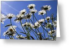 Sun Lit Daisies Greeting Card