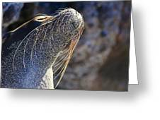 Sunbathing Galapagos Sea Lion Greeting Card