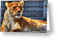 Sunbathing Lioness  Greeting Card
