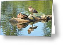 Sunbathing Mallards Reflecting Greeting Card