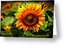 Sunflower At Buttonwood Farm Greeting Card