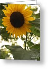 Sunflower Backlighting Greeting Card