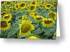 Sunflower Beauty II Greeting Card