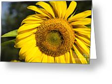 Sunflower Close Greeting Card