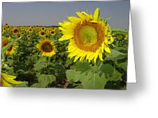Sunflower Field 1 Greeting Card