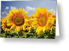 Sunflower Field And Blue Sky Greeting Card