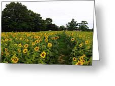 Sunflower Field Greeting Card