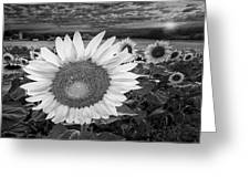 Sunflower Field Forever Bw Greeting Card