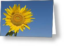 Sunflower, Helianthus Annuus Greeting Card