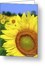 Sunflower In Field Greeting Card by Elena Elisseeva