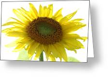 Sunflower In Light Greeting Card