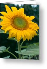 Sunflower In Seattle Greeting Card