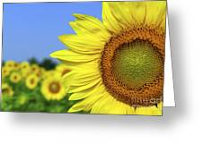 Sunflower In Sunflower Field Greeting Card by Elena Elisseeva