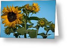 Sunflower Morning Greeting Card