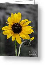 Sunflower On Gray Greeting Card