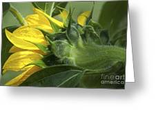 Sunflower Opening Greeting Card
