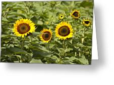 Sunflower Patch Greeting Card by Bill Cannon