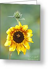 Sunflower With Honey Bee. Greeting Card