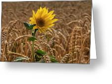Sunflowers At Corny Greeting Card