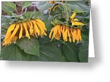 Sunflowers Faded Bloom Series - Image--sfwbix Greeting Card