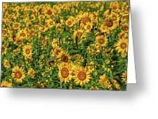 Sunflowers Helianthus Annuus Growing Greeting Card
