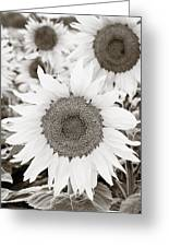 Sunflowers In Back And White Greeting Card