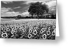 Sunflowers In Black And White Greeting Card