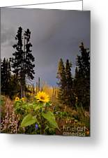 Sunflowers In Northern Garden In Fall Greeting Card