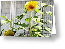 Sunflowers In The Window Greeting Card