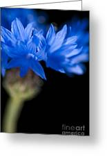 Sunkissed Cornflower Greeting Card