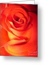 Sunkissed Orange Rose 10 Greeting Card