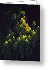 Sunlight Highlights Aspen Trees Greeting Card