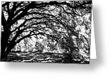 Sunlight Through Spanish Oak Tree - Black And White Greeting Card