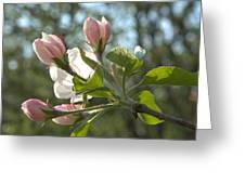 Sunlit Apple Blossoms Greeting Card